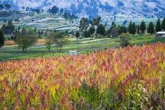 Quinoa gecultiveerde gebieden Royalty-vrije Stock Afbeeldingen
