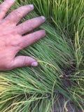 Quinoa nära plockning Arkivbild