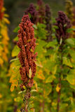 Quinoa Plant. Ready to harvest Royalty Free Stock Image