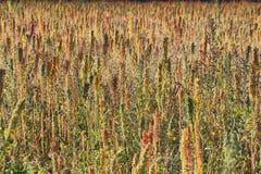 Quinoa plantation (Chenopodium quinoa) Stock Photography