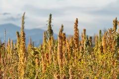 Quinoa plantation (Chenopodium quinoa) Royalty Free Stock Photo