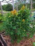 Quinoaanlage mit Samen Stockfotografie