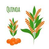 Quinoauppsättning Frö sund quinoavegetarianmat Tecknad filmlägenhetstil vektor illustrationer