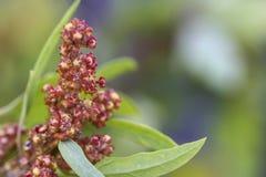 Quinoaväxt arkivbilder