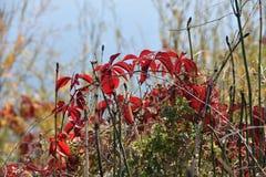 Quinquefolia di Virginia Creaper Vine Parthenocissus lungo il fiume Columbia fotografia stock