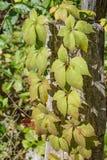 Quinquefolia för Virginia Creeper —Parthenocissus Royaltyfri Foto