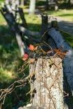Quinquefolia för Virginia Creeper —Parthenocissus Arkivfoton