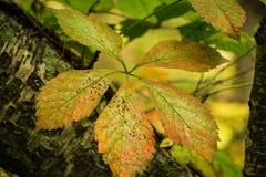 Quinquefolia för Virginia Creeper —Parthenocissus Royaltyfri Bild