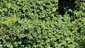 Quinquefolia grosso do Parthenocissus dos arvoredos no jardim Parede da folha video estoque