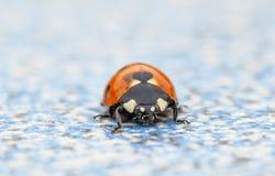 Quinquepunctata Coccinella (ladybug) Стоковые Фотографии RF