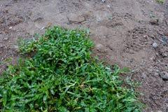 Quintal, trabalho de jarda que planta uma grama nova da grama foto de stock