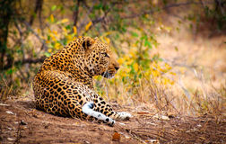 Quintessent Africa. A majestic Leopard reclines and looks over his territory in Kruger National Park, South Africa Royalty Free Stock Image