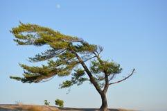 Quintessential Windswept Pine on Georgian Bay Stock Photo