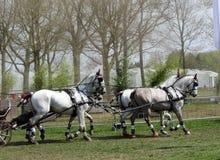 Équipe de fonctionnement de chevaux de Percheron Copiez l'espace Images libres de droits