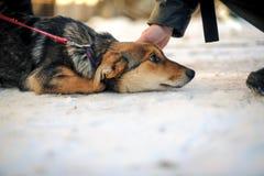 Équipe la main frottant le chien abandonné Images stock