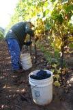 Équipez moissonner des raisins Images libres de droits