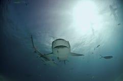 Quirky lemon shark. A close up on a gaping lemon shark nearing, Bahamas Royalty Free Stock Photography