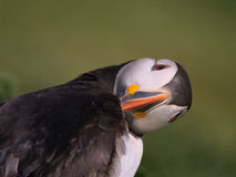 Quirky shot of Atlantic Puffin preening Stock Images