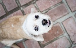 Cute Cuddly Pet Dog Looking Up Stock Photo