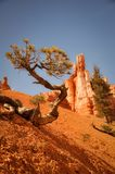 Quirky Tree in Arid Bryce Canyon Park Royalty Free Stock Images