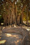 Quirky Tree with Big Roots in a Park of Palermo. Sicily Royalty Free Stock Image