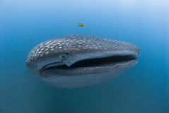 Quirky whale shark Royalty Free Stock Photography