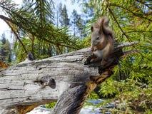 Quirrel сидит и ест на сломленном дереве в лесе в winte стоковые изображения