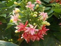 Quisqualis Indica στοκ εικόνες