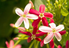 Quisqualis indica also known as the Chinese honeysuckle Royalty Free Stock Image