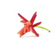 Quisqualis indica flower Stock Photo