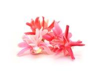 Quisqualis indica flower Stock Images