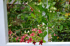 Quisqualis Indica. Flower plant , Chinese honeysuckle, Rangoon Creeper, Combretum indicum Stock Photo