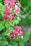Quisqualis Indica. Flower plant , Chinese honeysuckle, Rangoon Creeper, Combretum indicum Royalty Free Stock Photography