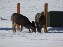 Quit butting heads. A couple of young bucks butting heads the other day up in Helena, Montana Stock Photography