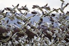 Quite Hunderds de los gansos de nieve que sacan el vuelo Fotografía de archivo libre de regalías
