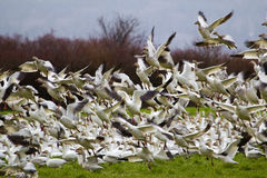 Quite Hunderds del lanzamiento de los gansos de nieve Foto de archivo libre de regalías