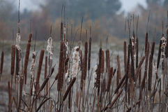 Quite a lot of bulrush Royalty Free Stock Photography