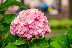 QUITO, ECUADOR 28 NOVEMBER, 2017: Sluit omhoog van een mooie roze bloem van Hortensia met groen doorbladert gelegen bij Stock Foto