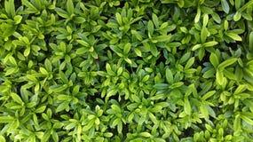 Quitte les plantes vertes Image libre de droits