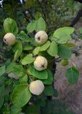 Quittenfrüchte auf dem Baum Lizenzfreies Stockfoto