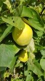 Quittenfrucht stockbild