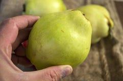 Quittenfrucht, natürliche organische Quittenbilder, halten die Hand mit einer Quittenfrucht, Stockfotos