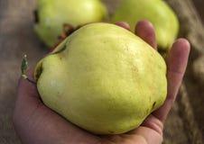 Quittenfrucht, natürliche organische Quittenbilder, halten die Hand mit einer Quittenfrucht, Stockfotografie