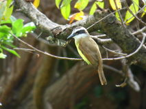 Quitupi. Bird clinging to a tree branch Royalty Free Stock Photography