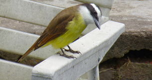 Quitupi Quetupi Sulphuratus Pitangus Στοκ φωτογραφία με δικαίωμα ελεύθερης χρήσης