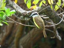 Quitupi Vogel, der einem Baumast anhaftet Lizenzfreie Stockfotografie