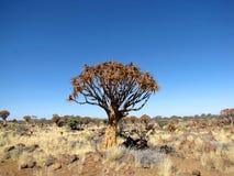 Quive Baum Stockbilder