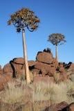 Quiver bomen. Stock Foto