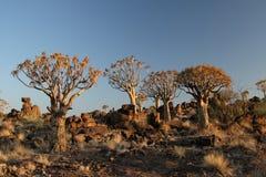 Quiver bomen Royalty-vrije Stock Fotografie