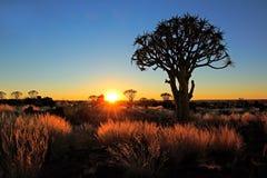 Quiver bomen en grassen Royalty-vrije Stock Foto's